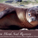 Hawaiian Monk Seal Recovery by Denise Laitinen