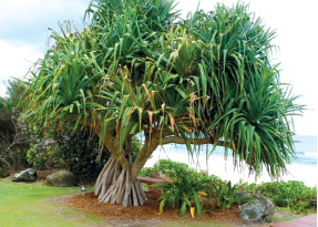Hala tree, with its distinctive, strong roots, produces the leaves from which the lauhala craft is made.