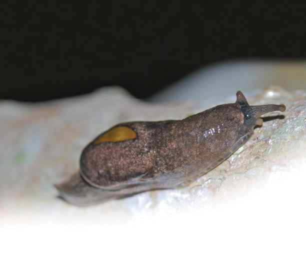 The Yellow-shelled semislug, Parmarion martensi, is a host for the nematode Angiostrongylus cantonensis, which causes rat lungworm disease. It feeds on lettuce and papaya in gardens in Hawai'i, and is considered to be a pest. photo courtesy of Bernard Dupont is licensed under CC BY 2.0