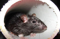 Rats find their way into the tightest of places. photo courtesy of CDC