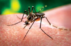 Aedes aegypti mosquito, only found on Hawai'i Island and Moloka'i, can spread dengue. photo courtesy of CDC