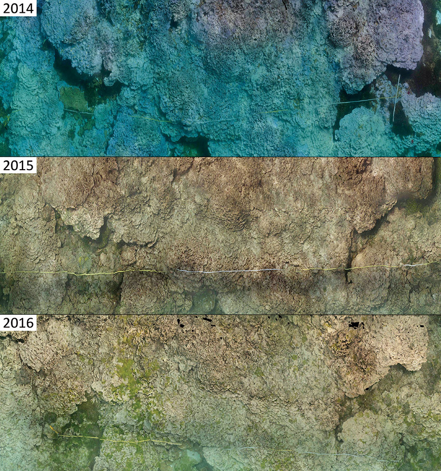 2014: Bottom covered by healthy purple rice coral (Montipora dilatata; purple in color), and bleached coral (pale in color). 2015: 90% of coral that bleached in 2015 is dead. 2016: Dead coral is being overgrown by invasive green algae. photo by John Burns/HIMB and NOAA, 2016
