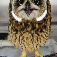 Pueo (owl) patient.