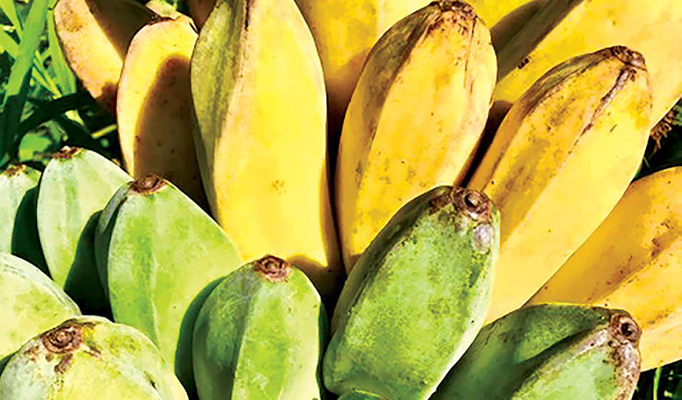 saba banana taste