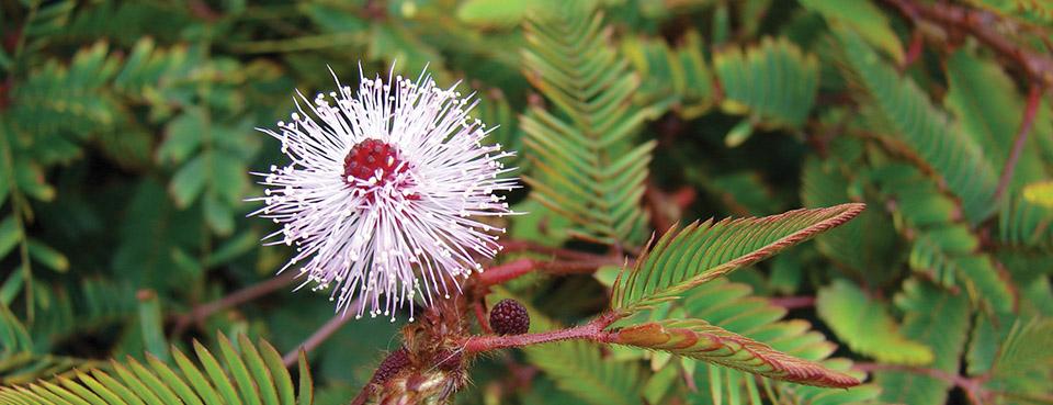 Healing Plants - Mimosa Pudica
